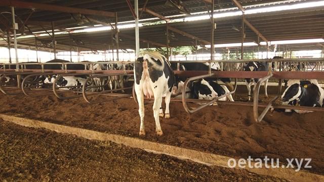 加藤牧場牛